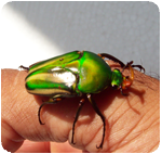 African Fruit Beetle